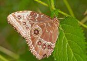 Braune Augen-Schmetterling