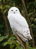 stock photo of snow owl  - Snow owl resting in it - JPG