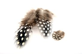 picture of guinea fowl  - Guinea fowl feathers with white spots and fluff - JPG