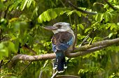 stock photo of blue winged kookaburra  - A blue - JPG