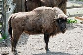 European Bison In Forest Park
