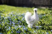 White Hen On The Flower Yard