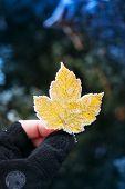 Frozen Yellow Leaf In Adventure Man Hand
