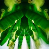 picture of banana tree  - Beautiful banana palm leaves of tree in warm summer sunlight as seen from below - JPG