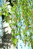 picture of birching  - Spring birch buds and white birch tree on blue sky background - JPG
