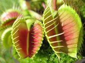 Venus Fly Trap 3