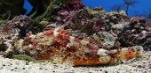 Close-up view of a Red Scorpionfish