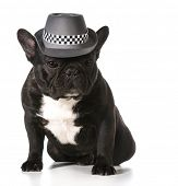 cute french bulldog wearing fedora
