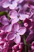 Beautiful Sprig Of Fragrant Pink Lilac Blossoms. Closeup