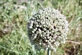 Allium Sativum, The Scientific Name Of The Flower Of The Garlic