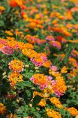 stock photo of lantana  - Lantana Camara flower in the garden under sunlight - JPG