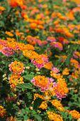 foto of lantana  - Lantana Camara flower in the garden under sunlight - JPG