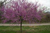 Redbud Tree - Cercis canadensis