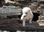 pic of hollow log  - Young baby timber wolf or gray wolf pup - JPG