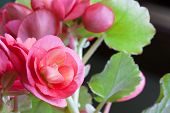 image of photosynthesis  - Pink blooms with light yellow stripes in the center of a begonia houseplant with a blurred green leaf background - JPG