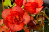 stock photo of begonias  - A reddish pink blooms with light yellow stripes in the center of a begonia houseplant with a blurred green leaf background - JPG