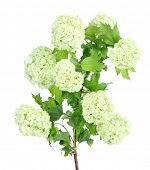 White Hydrangea isolated on white