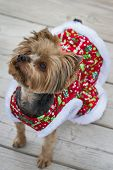 foto of yorkie  - small yorki wearing a christmas sweater looking at the distance - JPG
