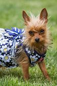 foto of chihuahua mix  - young Chihuahua and yorki mix wearing a summer dress outdoors over green grass - JPG