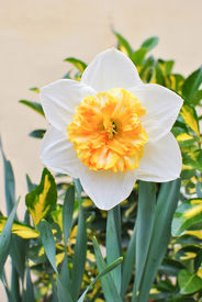 picture of gentle giant  - White and yellow narcissus flower gentle giant - JPG