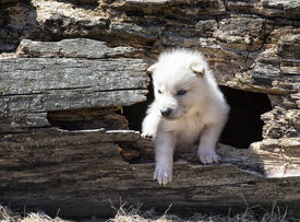 foto of hollow log  - Young baby timber wolf or gray wolf pup - JPG