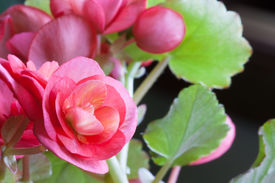 foto of photosynthesis  - Pink blooms with light yellow stripes in the center of a begonia houseplant with a blurred green leaf background - JPG