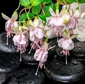Spa Setting Of Branch Pink Fuchsia Flower, Towels And Zen Basalt Stones With Dew,