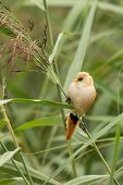 Bearded Tit, Female Wild Bird