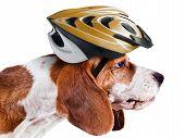 Beagle In  Helmet On White
