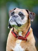 Purebred Boxer Dog