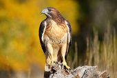 stock photo of hawk  - Red - JPG