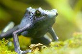 Blue Poison Arrow Frog - Blue Poison Dart Frog - Dendrobates Azu