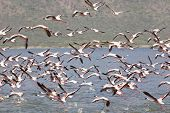 Flamingos At Lake Bogoria, Kenya