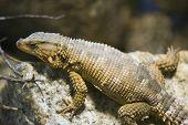 Karoo Girdled Lizard, Cordylus Polyzonus poster