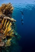 Underwater shot of the lady free diver in wet suit descending along the vivid coral reef wall. Red Sea, Egypt