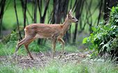 image of roebuck  - Young roe deer standing in summer forest - JPG