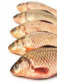 Crucian Carp Fishes
