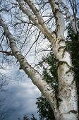 Gnarled Birch Tree