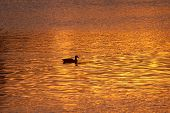 Lone Duck Swimming Across Golden Pond At Sunset