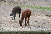 picture of lamas  - The young Lamas go for a walk in the zoo