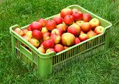 Harvest of fresh ripe apples in organic quality on Czech countryside.
