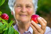 Old woman holding a peach in his hand in the orchard