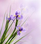 Beautiful iris flower on light background