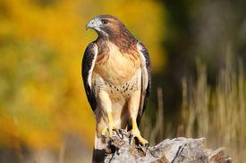 stock photo of hawk  - Red - JPG