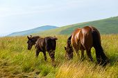 picture of foal  - horse with foal on meadow at the mountains - JPG