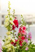 stock photo of hollyhock  - Beautiful hollyhock spring celebrity flower in garden - JPG