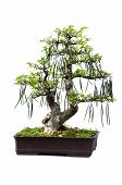foto of bonsai tree  - Bonsai pine tree against a white wall - JPG
