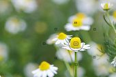 foto of daisy flower  - daisy flowers focal point on camera in daisy flower during the focus blurred background - JPG