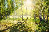 stock photo of birching  - Green birch forest in the sunshine - JPG