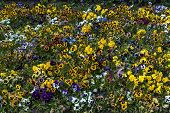 stock photo of viola  - Background of pansy or Viola tricolor flower - JPG